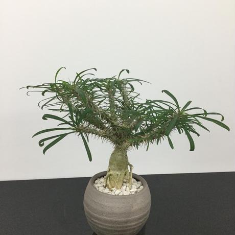 Euphorbia rossii ユーフォルビア ロシー