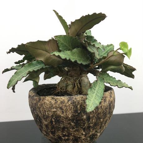 Euphorbia francoisii ユーフォルビア フランコイシー