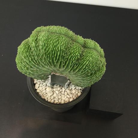 Euphorbia symmetrica 'cristata' ユーフォルビア シンメトリカ 綴化