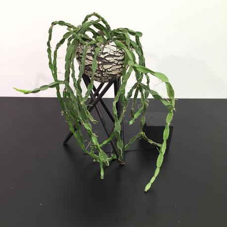 Rhipsalis paradoxa リプサリス パラドクサ