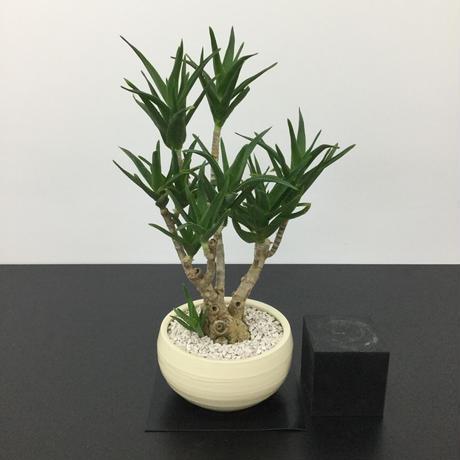 Aloe hyb.'delaetii' アロエ デラエティ