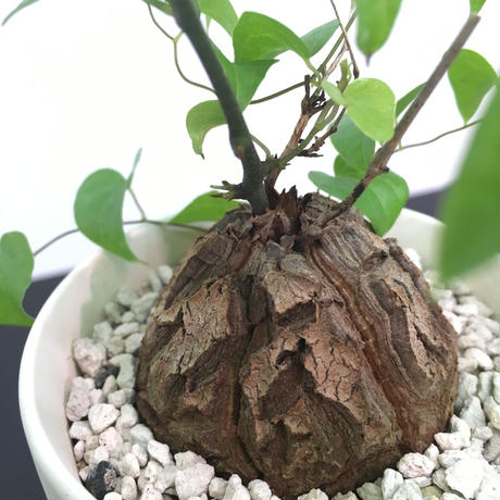 Dioscorea elephantipes ディオスコレア エレファンティペス 亀甲竜