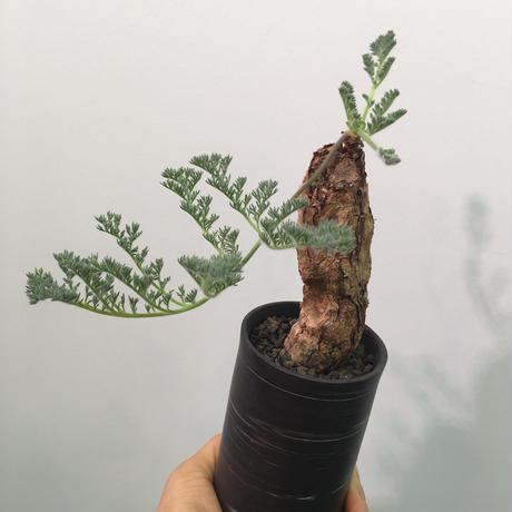 Pelargonium triste ペラルゴニウム トリステ
