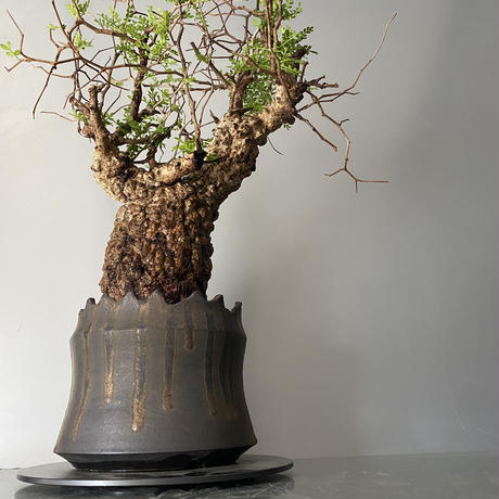 "発根済 パキプス P33  × S.N.Pot ""土管型""- crown - 5号鉢 [作家  ""根本峻吾""]"