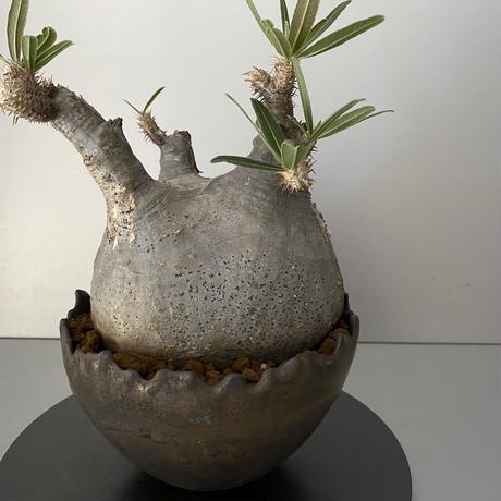 """発根済 中ぶり グラキリス BG-170 × S.N.Pot """"丸""""- crown - 5号鉢 [作家  """"根本峻吾""""]"""