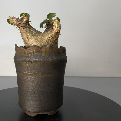 """発根済 超チビ マカイエンセ 魔界玉 現地株 BG-137 × S.N.Pot - crown - 2号鉢 [作家  """"根本峻吾""""]"""
