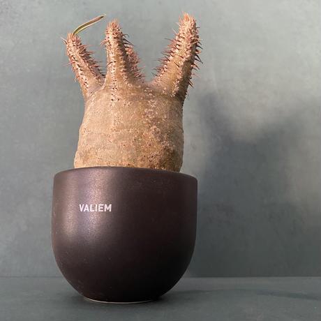 発根済 グラキリス VAG-06 × VALIEM ROUGH BOWL   XS / Black