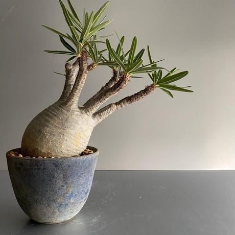 Gracilius M  ×  Flat pot 「Ibushi Gin」 - 笠間焼 - C72