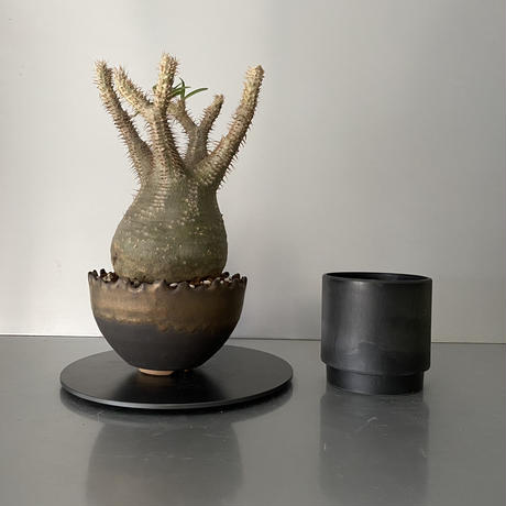 """発根済  中玉 グラキリス BG-192 × S.N.Pot """"丸""""- crown - 5号鉢 [作家  """"根本峻吾""""]"""