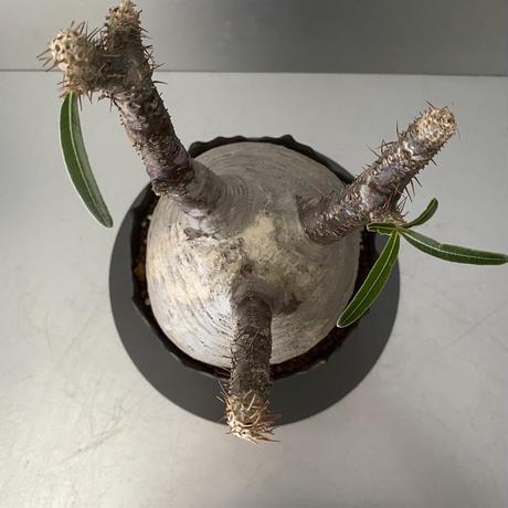 """発根済 中ぶり グラキリス BG-171 × S.N.Pot """"丸""""- crown - 5号鉢 [作家  """"根本峻吾""""]"""