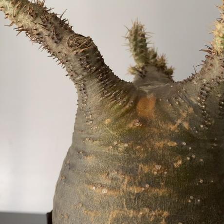 """発根済  緑丸 グラキリス BG-187 × S.N.Pot """"丸""""- crown - 4号鉢 [作家  """"根本峻吾""""]"""