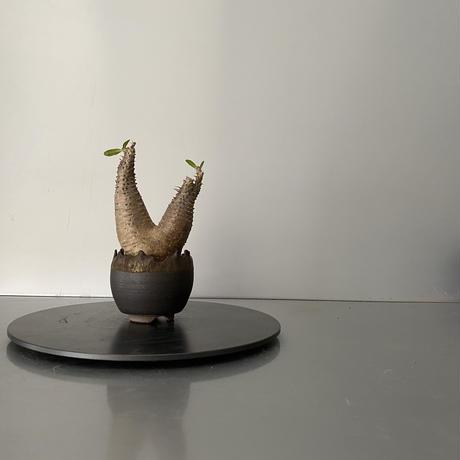 """発根済 ちびダブル マカイエンセ 魔界玉  BG-174 × S.N.Pot """"丸""""- crown - 2号鉢 [作家  """"根本峻吾""""]"""