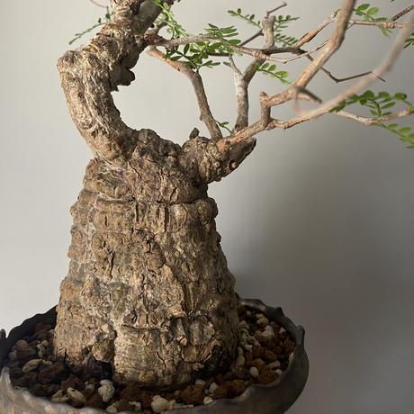 """発根済 パキプス P27  × S.N.Pot - crown - 5号鉢 [作家  """"根本峻吾""""]"""