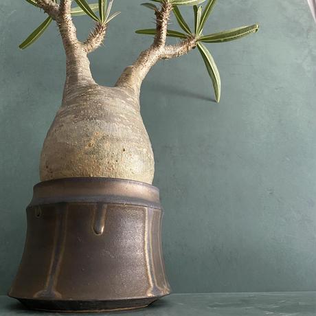 """発根済 グラキリス BG-241 × S.N.Pot """"土管"""" - horizon - 4号鉢 [作家  """"根本峻吾""""]"""