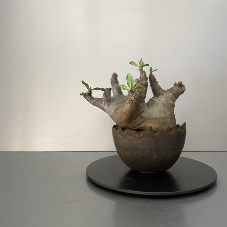 """発根済 中ぶり マカイエンセ BG-167 × S.N.Pot """"丸""""- crown - 4号鉢 [作家  """"根本峻吾""""]"""