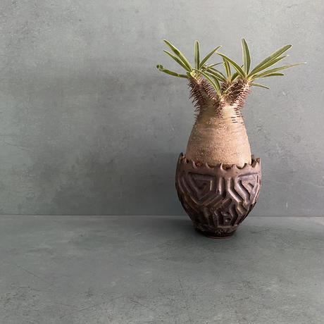"""発根済 グラキリス BG-237 × S.N.Pot """"鎬丸"""" - crown - 3号鉢 [作家  """"根本峻吾""""]"""