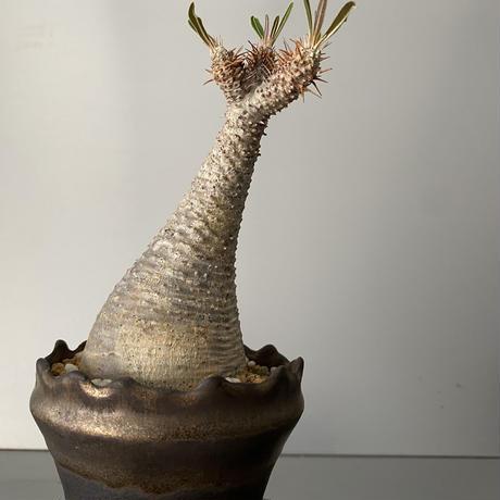 """発根済 グラキリス 現地株 BG-156 × S.N.Pot - crown - 3号鉢 [作家  """"根本峻吾""""]"""