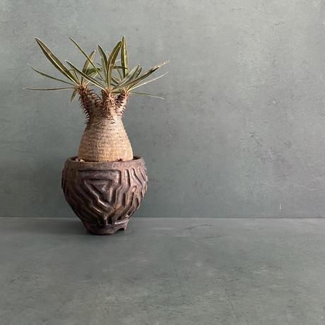"""発根済 グラキリス BG-233 × S.N.Pot """"鎬丸"""" - horizon - 3号鉢 [作家  """"根本峻吾""""]"""