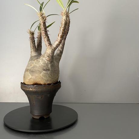 """発根済 中ぶりグラキリス 現地株 BG-119 × S.N.Pot - crown - 4号鉢 [作家  """"根本峻吾""""]"""