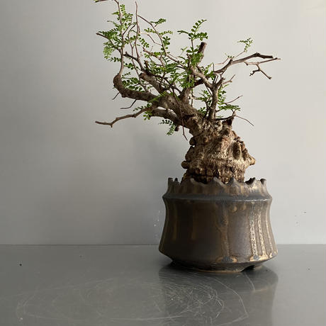 "発根済 パキプス P36  × S.N.Pot ""土管型""- crown - 4号鉢 [作家  ""根本峻吾""]"