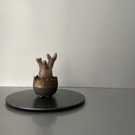 """発根済 ちび兜 マカイエンセ 魔界玉  BG-173 × S.N.Pot """"丸""""- crown - 2号鉢 [作家  """"根本峻吾""""]"""