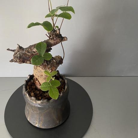 """コミフォラ オルビクラリス 発根済 BCO-02 × S.N.Pot """"土管"""" - crown - 3号鉢[作家  """"根本峻吾""""]"""