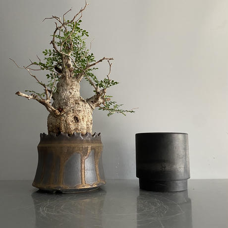 "発根済 パキプス P37  × S.N.Pot ""土管型""- crown - 4号鉢 [作家  ""根本峻吾""]"