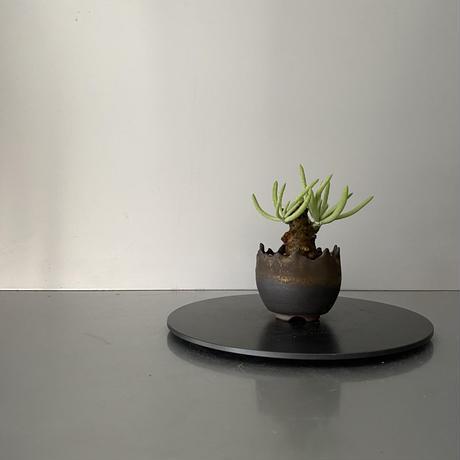 """発根済  チレコドン ペアルソニー PE-01 × S.N.Pot """"丸""""- crown - 2号鉢 [作家  """"根本峻吾""""]"""