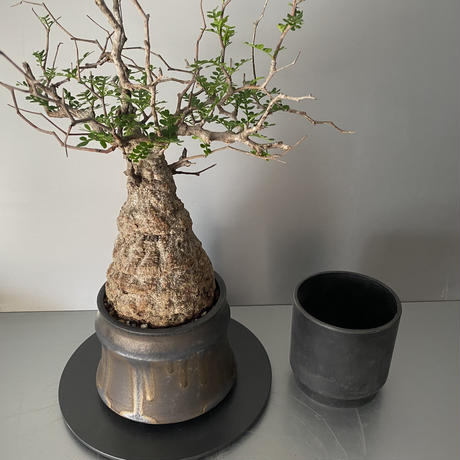 "発根済 パキプス P30  × S.N.Pot ""土管型""- horizon - 4号鉢 [作家  ""根本峻吾""]"