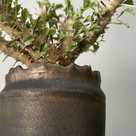 モンソニア サルコカウロン クラシカウレ 発根済 現地株 MS-01 × S.N.Pot - crown - 3号鉢