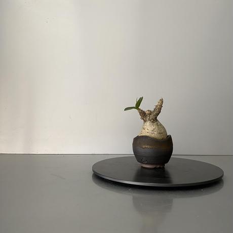"""発根済 ちび丸 マカイエンセ 魔界玉  BG-176 × S.N.Pot """"丸""""- wave - 2号鉢 [作家  """"根本峻吾""""]"""