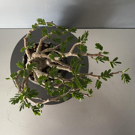 "センナ 発根済 BS-07 × S.N.Pot ""土管"" - crown - 3号鉢[作家  ""根本峻吾""]"