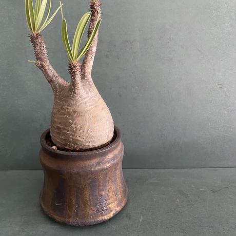 """発根済 グラキリス BG-239 × S.N.Pot """"土管"""" - horizon - 3号鉢 [作家  """"根本峻吾""""]"""