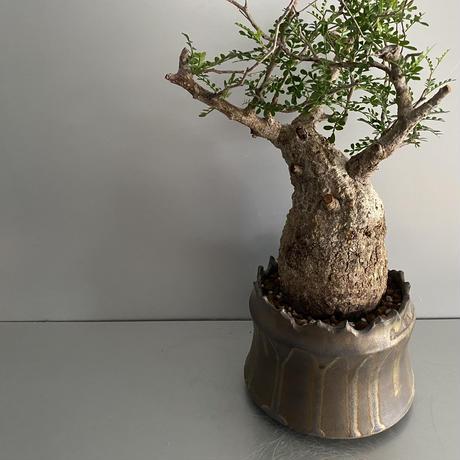 "発根済 パキプス P38  × S.N.Pot ""土管型""- crown - 5号鉢 [作家  ""根本峻吾""]"
