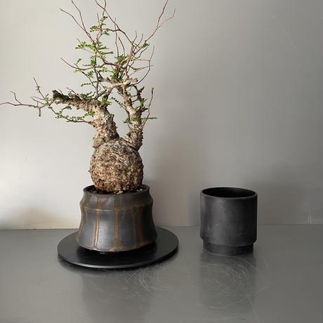 "発根済 パキプス P31  × S.N.Pot ""土管型""- horizon - 4号鉢 [作家  ""根本峻吾""]"
