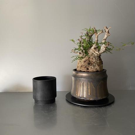 "発根済 パキプス P32  × S.N.Pot ""土管型""- horizon - 5号鉢 [作家  ""根本峻吾""]"