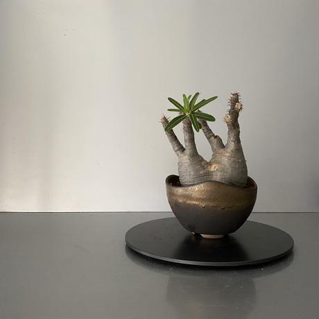 """発根済 小ぶり 分頭 グラキリス BG-189 × S.N.Pot """"丸""""- wave - 4号鉢 [作家  """"根本峻吾""""]"""
