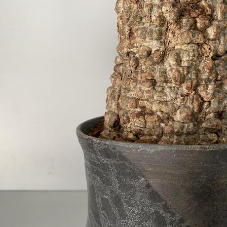 発根済 オペルクリカリア パキプス P04 × 笠間焼 〝燻し銀  煙突鉢〟