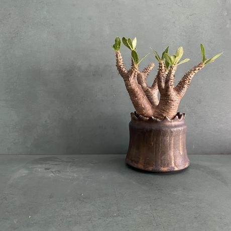 """発根済 マカイエンセ BM-07 × S.N.Pot """"土管""""- crown - 3号鉢 [作家  """"根本峻吾""""]"""