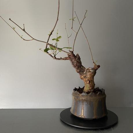 """コミフォラ オルビクラリス 発根済 BCO-03 × S.N.Pot """"土管"""" - crown - 4号鉢[作家  """"根本峻吾""""]"""