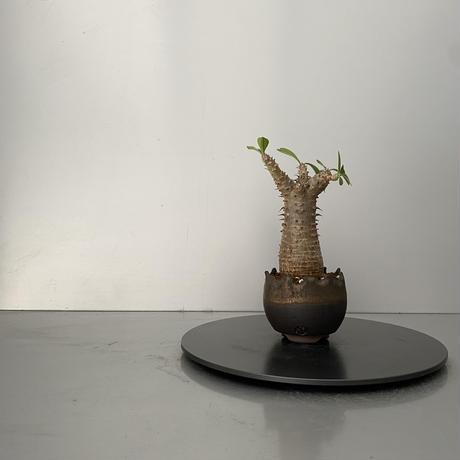 """発根済 魔界玉 マカイエンセ BG-205 × S.N.Pot """"丸""""- crown - 2号鉢 [作家  """"根本峻吾""""]"""