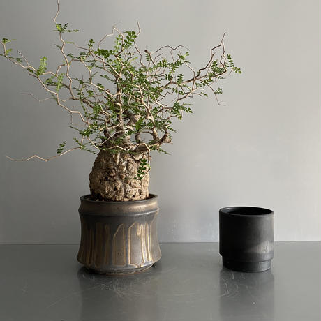 "発根済 パキプス P40  × S.N.Pot ""土管型""- horizon - 5号鉢 [作家  ""根本峻吾""]"