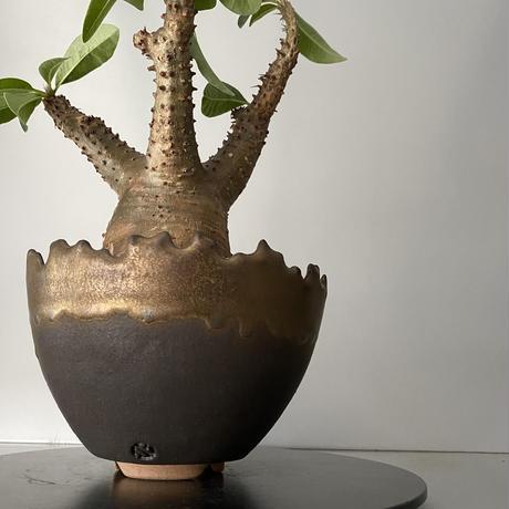 """発根済 中ぶり マカイエンセ 魔界玉  BG-179 × S.N.Pot """"丸""""-  crown - 5号鉢 [作家  """"根本峻吾""""]"""