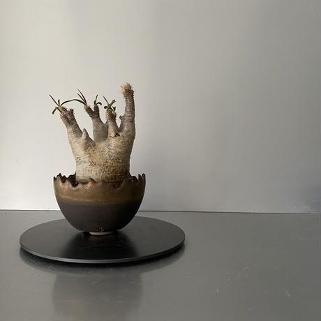 """発根済  鬼兜 グラキリス BG-188 × S.N.Pot """"丸""""- crown - 4号鉢 [作家  """"根本峻吾""""]"""