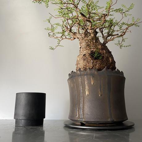 "発根済 パキプス P35  × S.N.Pot ""土管型""- crown - 6号鉢 [作家  ""根本峻吾""]"