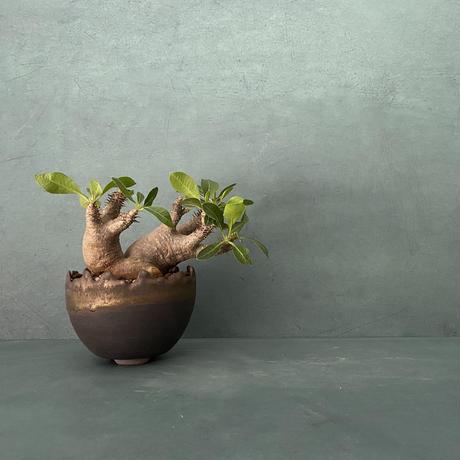 """発根済 ちびダブル マカイエンセ 魔界玉  SNM-01 × S.N.Pot """"丸""""-  crown - 3号鉢 [作家  """"根本峻吾""""]"""