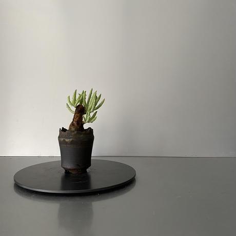 """発根済  チレコドン ペアルソニー PE-03 × S.N.Pot  - crown - 2号鉢 [作家  """"根本峻吾""""]"""