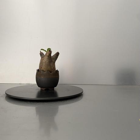 """発根済 魔界玉 マカイエンセ BG-206 × S.N.Pot """"丸""""- crown - 2号鉢 [作家  """"根本峻吾""""]"""