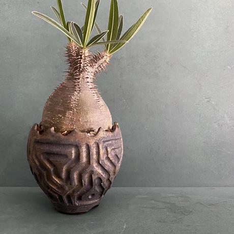 """発根済 グラキリス BG-238 × S.N.Pot """"鎬丸"""" - crown - 3号鉢 [作家  """"根本峻吾""""]"""