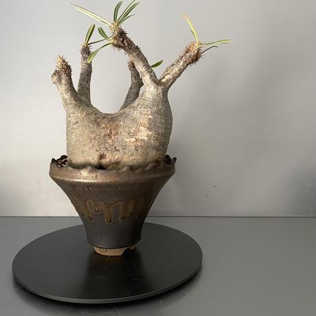 """発根済 中ぶりグラキリス 現地株 BG-118 × S.N.Pot - crown - 5号鉢 [作家  """"根本峻吾""""]"""